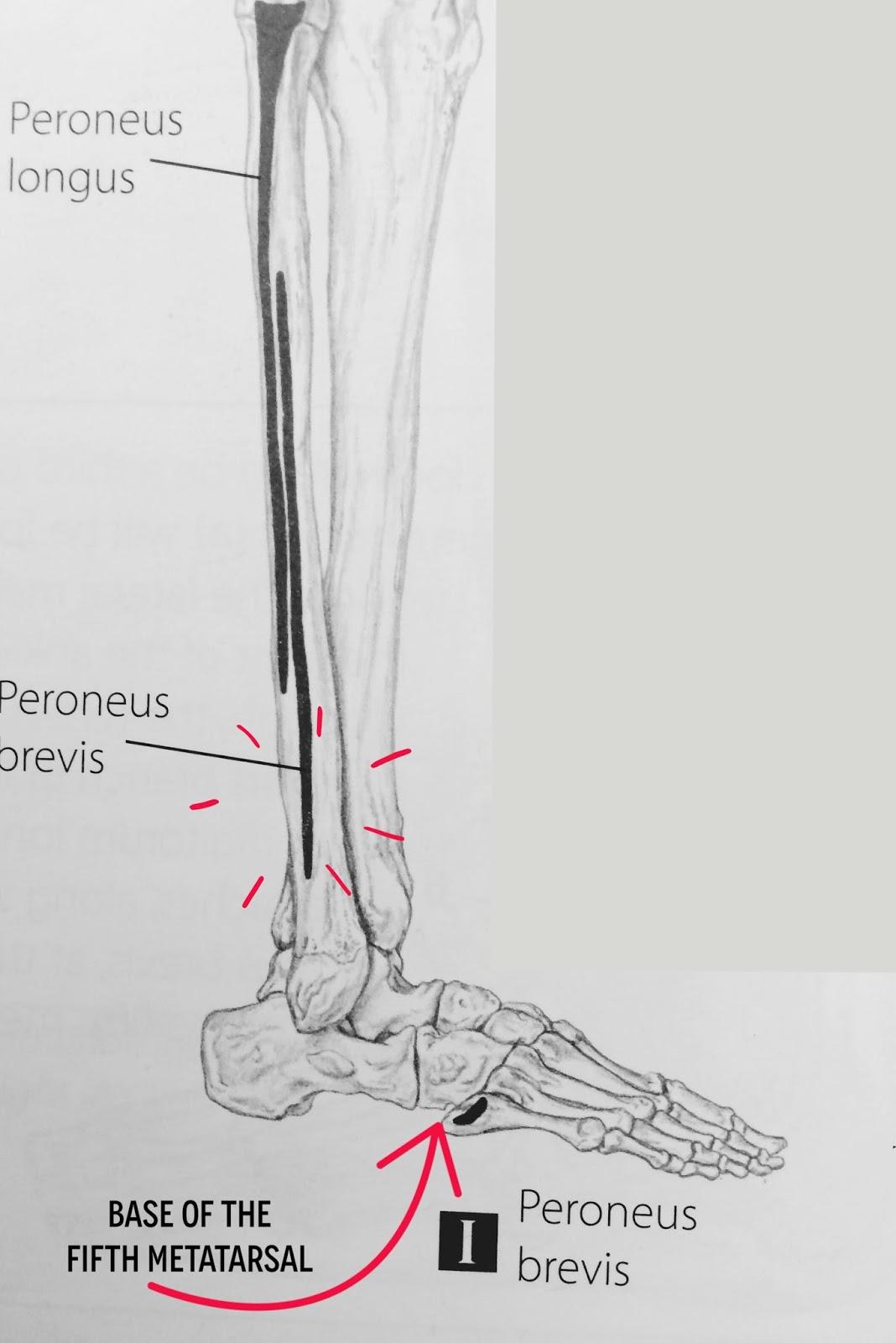 The Hip Joint: Fibularis Tertius - of the lower leg