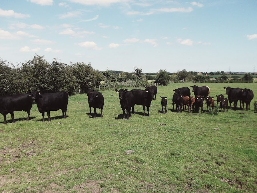 it's cohen - uk fashion blog: brownstock festival 2012, essex, cows, lots of cows