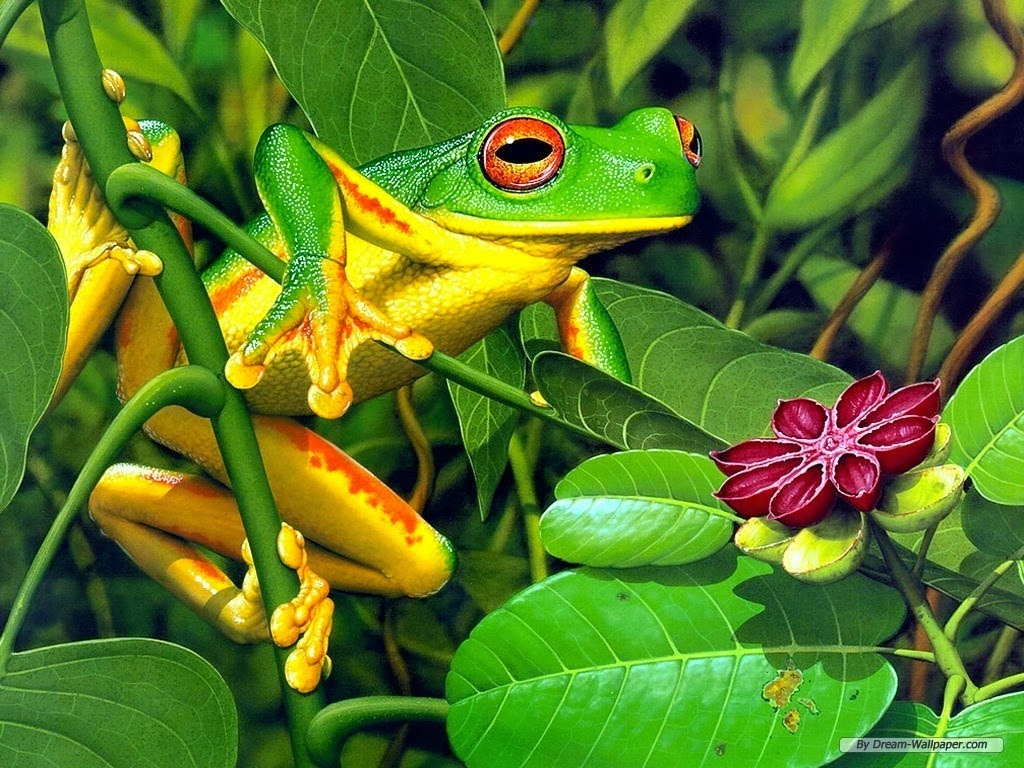 frog wallpaper hd beautiful desktop wallpapers 2014