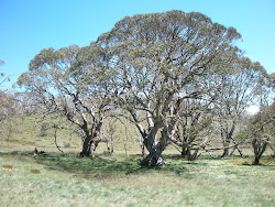 The Biggest Snow Gums on the Bogong High Plains.