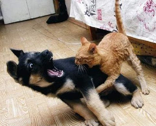 funny cat and dog dis y dogs chase cats