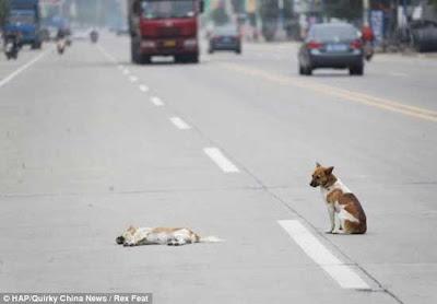 كلب يحرس رفيقته التي لقيت حتفها ويرفض مغادرتها !!!!