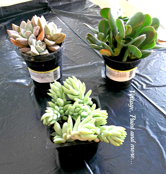 Succulents in Upcycled Dollar Store Pots - succulents, gardening with succulents, jade plant