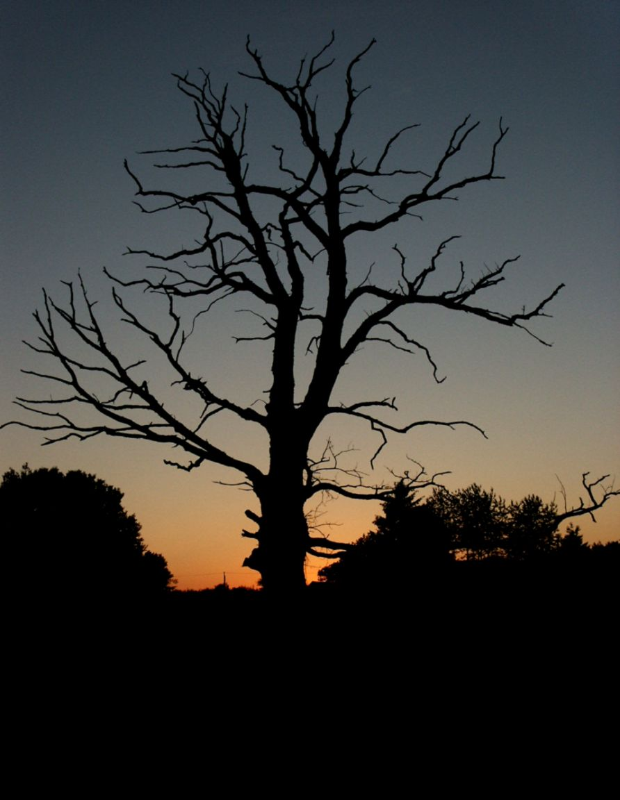 FileDead Tree Silhouette with Sunset   Wikipedia