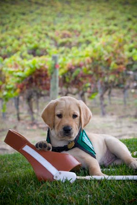 A photo of a puppy with a Guide Dog harness in a vineyard