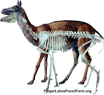 artyodactyla fosil Poebrotherium