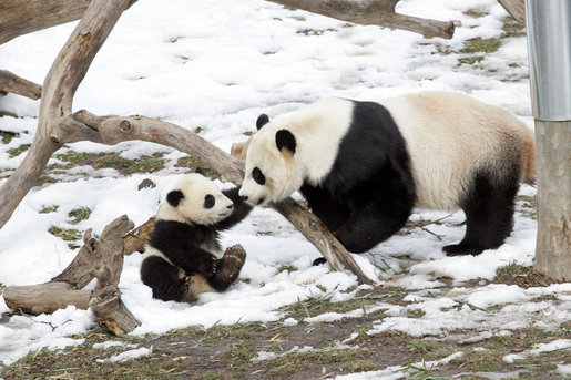 http://3.bp.blogspot.com/-w5mMheAVepA/Tb-cmZi6JyI/AAAAAAAAACc/W1yUY4yMIHs/s1600/7-month-old-Panda-Cub-Tai-Shan-plays-with-his-mother-Mei-Xiang.jpg