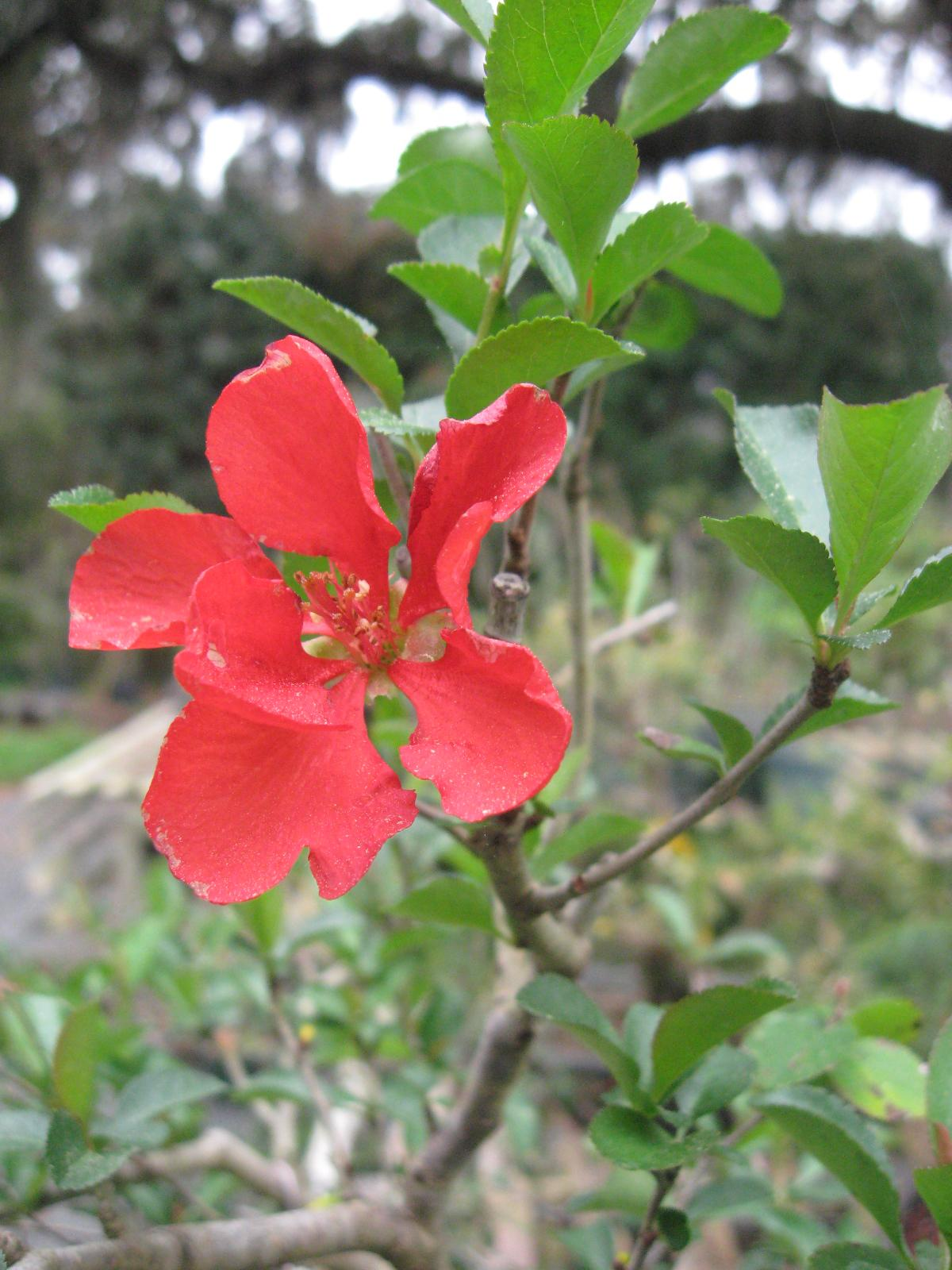 Bonsai Beginnings Spring Is On The Way Flowering Quince Are