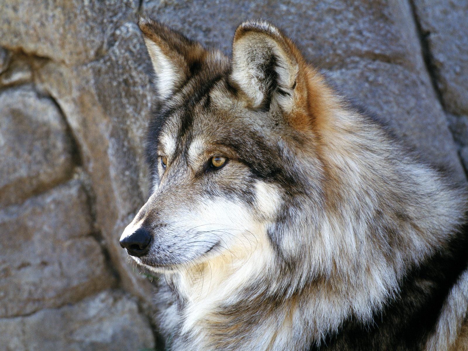 gambar hewan - foto serigala putih