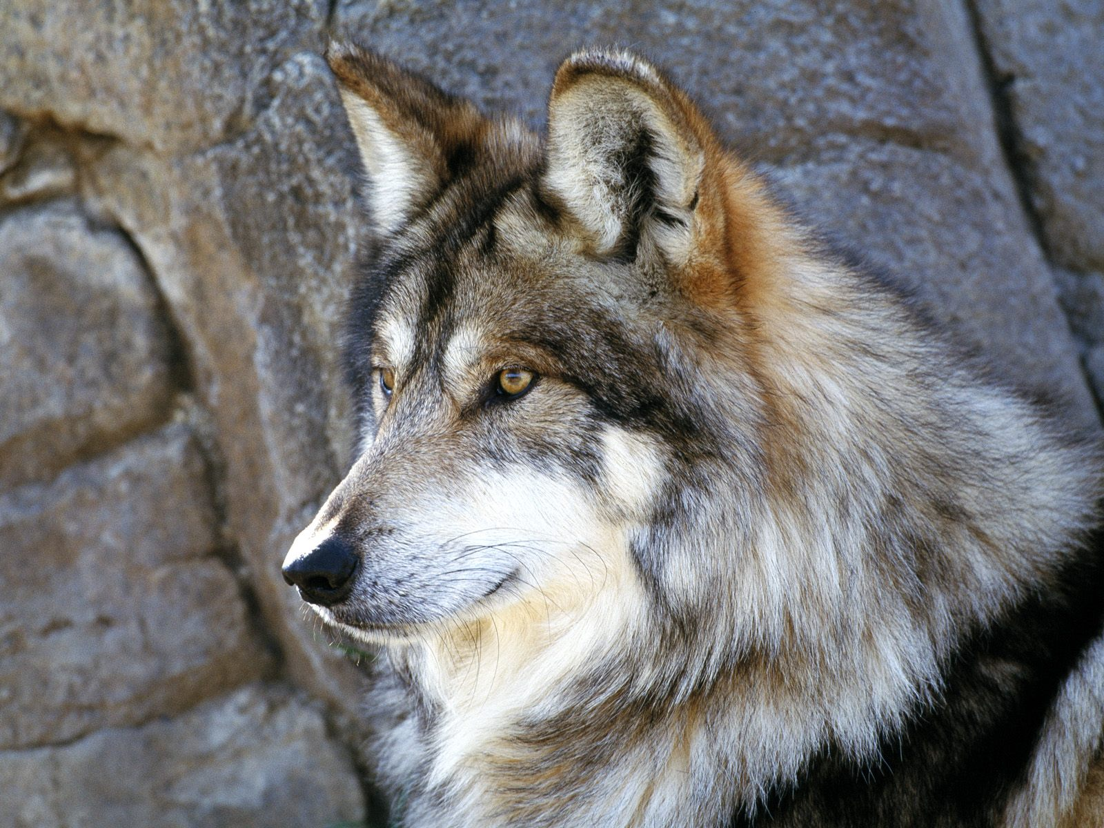 gambar hewan - foto serigala hitam