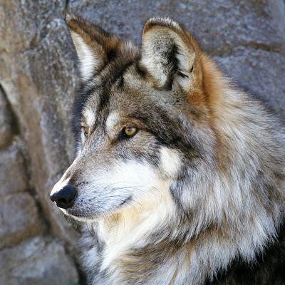 Downlaod Gambar Hewan Serigala