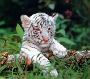 Funny wallpapers|HD wallpapers: cute baby white tigers