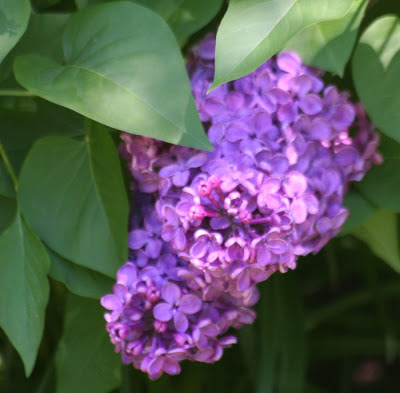 Lilac :: All Pretty Things