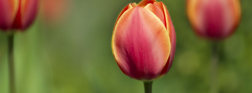 Tulips macro shot facebook cover