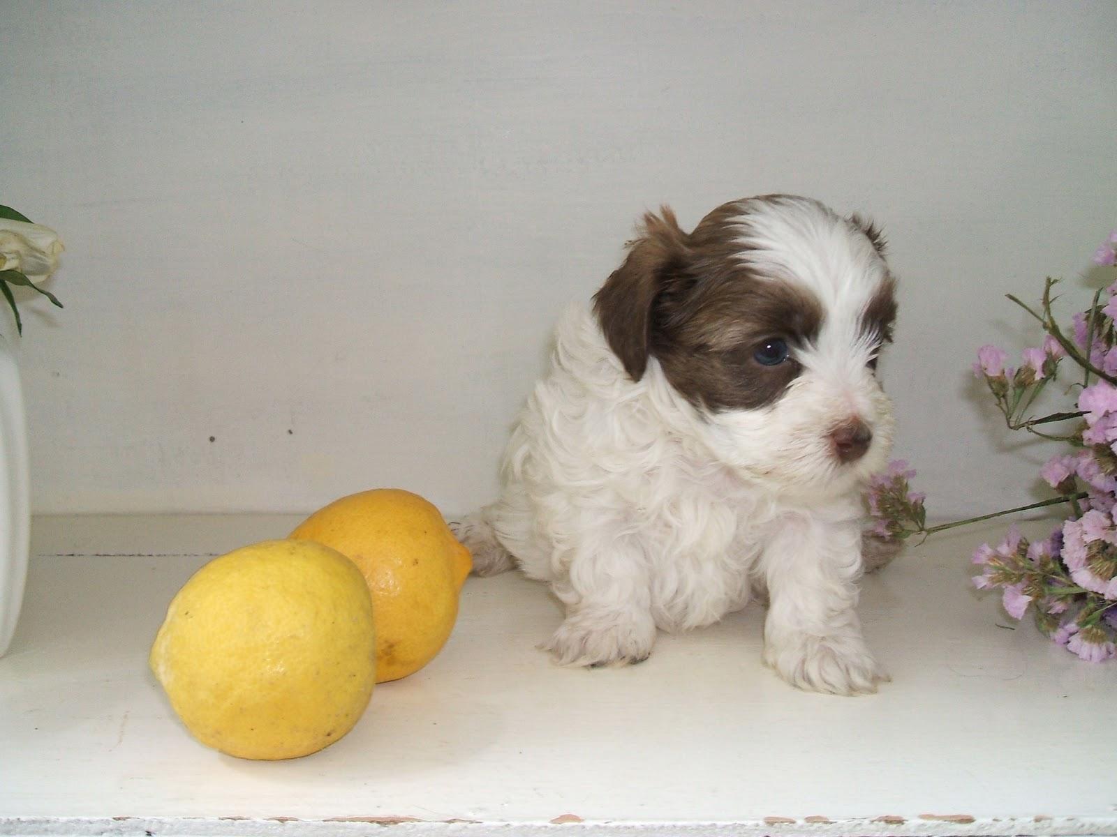 Blog de Perros Miniaturas: Cachorros Bichón Habanero