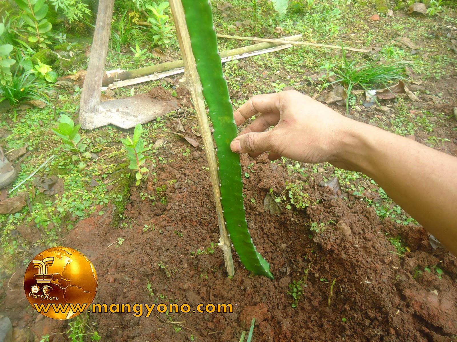 FOTO  3 : Melakukan penancapan stek pohon naga.