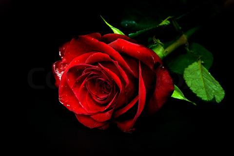3 roses songs free download starmusiq
