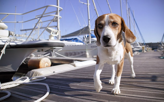 Dog At Harbor