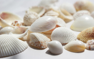 seashells wallpaper (12)