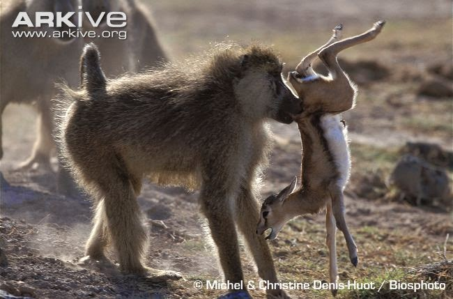 interactions between african wildlife yellow baboon