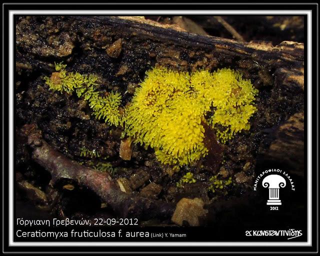 Ceratiomyxa fruticulosa f. aurea