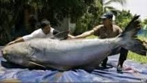 Ikan Patin Raksasa Gemparkan Warga Palembang