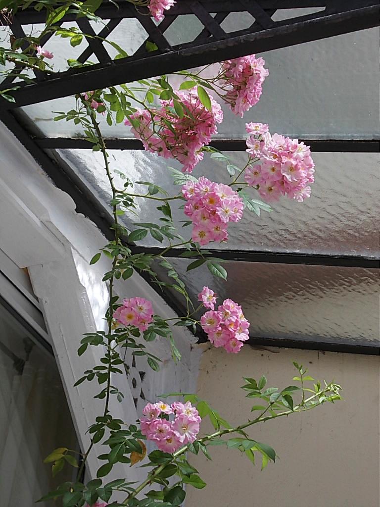 rosenreslis traum rosa schneewittchen richtig. Black Bedroom Furniture Sets. Home Design Ideas