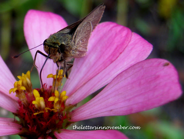Pink Zinnia with brown bug