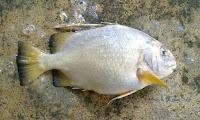 Knightfish