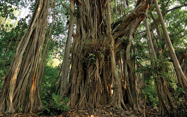 Banyan Tree in the Ranthambore National Park, India.