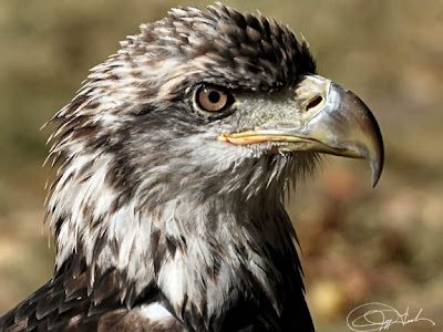 Pi - Immature Bald Eagle