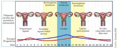 Menstruasi, Fertilisasi dan Kehamilan