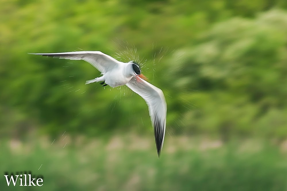 Caspian Tern shakes his head.