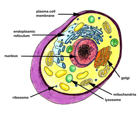 Brain cell diagram animal diy wiring diagrams what is a cell rh science ensiclopedy blogspot com plant cell and animal cell diagram plant and animal cells with nucleus diagram ccuart Image collections