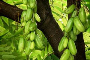 Sour Star Fruit