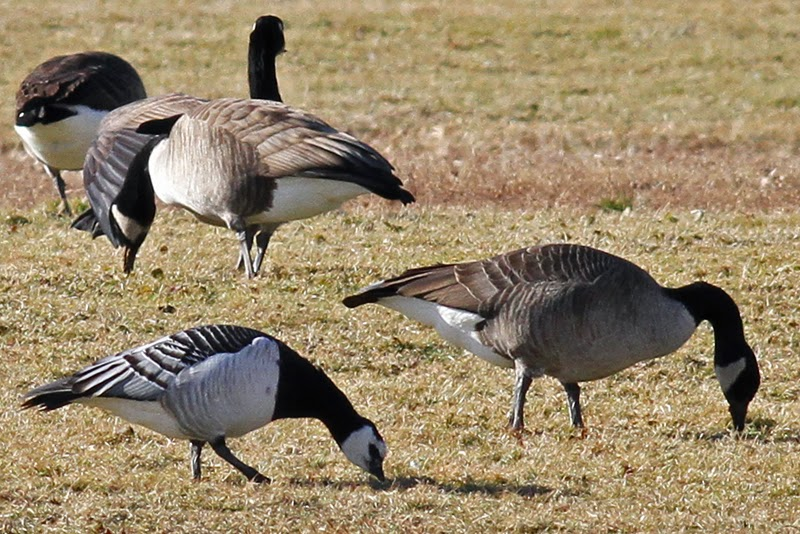 Canada Goose kensington parka replica authentic - View from the Cape: Wire-hoppers, long-distance migrants - and ...