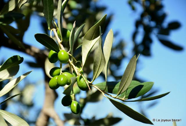 Toscane - olivier
