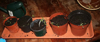Five pots of coriander seedlings post re-potting