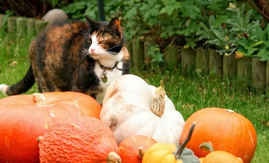 Warwick pumpkins cat