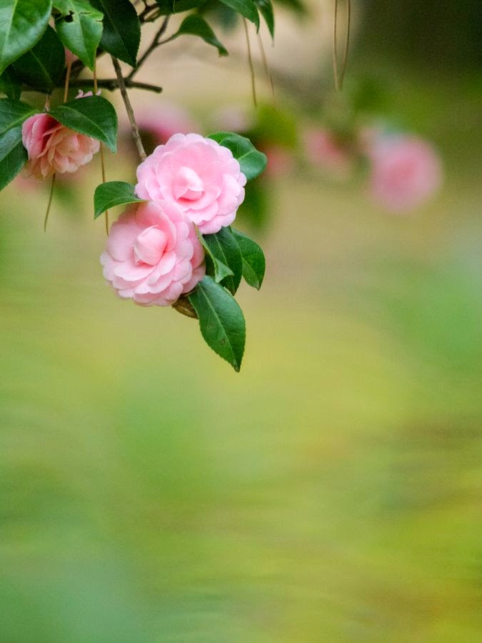 http://500px.com/photo/29616503/camellia-by-kaz-watanabe?utm_campaign=nativeshare&utm_content=web&utm_medium=pinterest&utm_source=500px