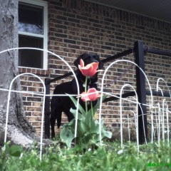 black Lab puppy hides in tulips