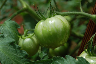 Green Zebra tomato from Suddenly I Seed blog