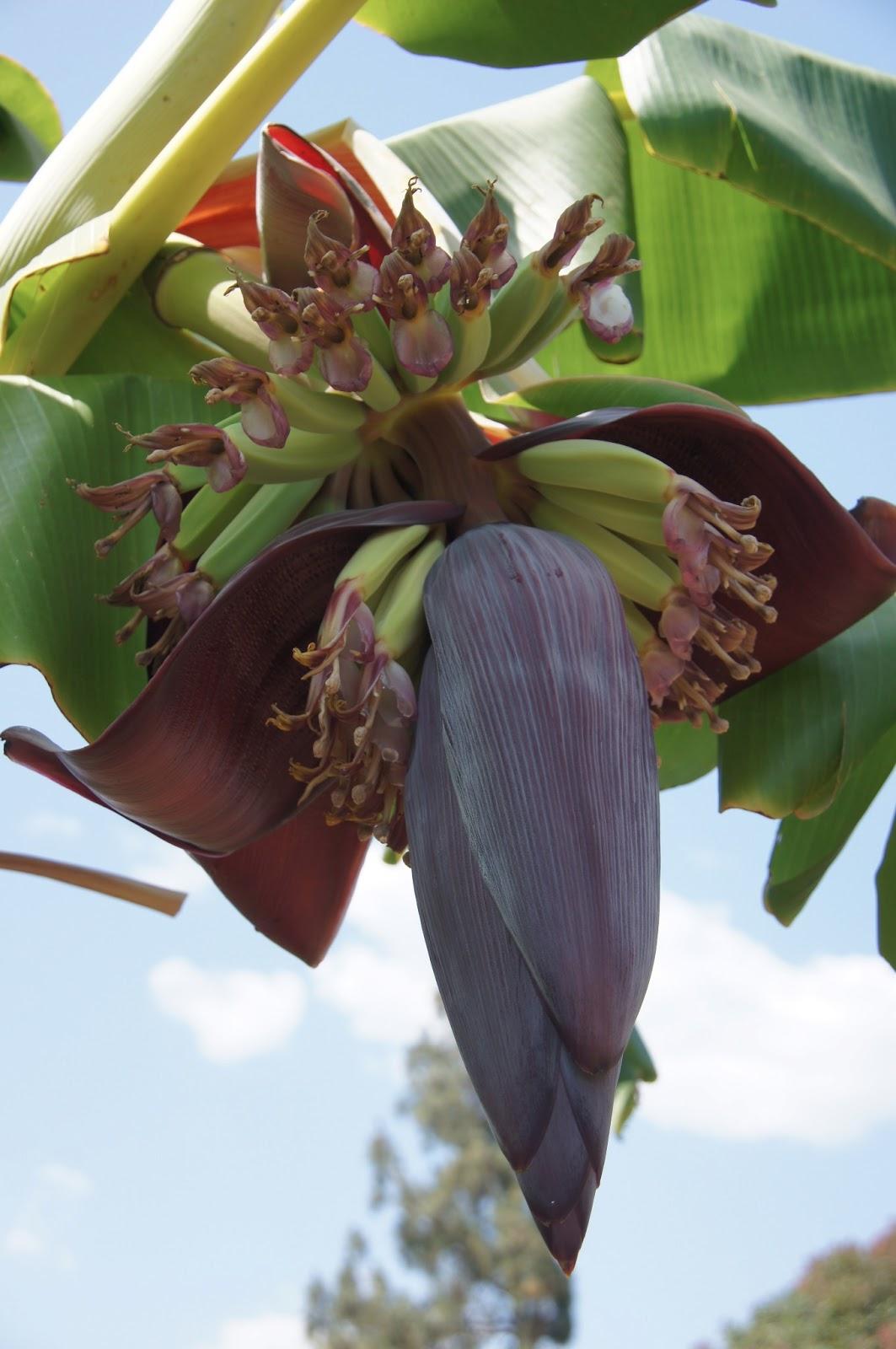 A Thinking Stomach Banana Blossom