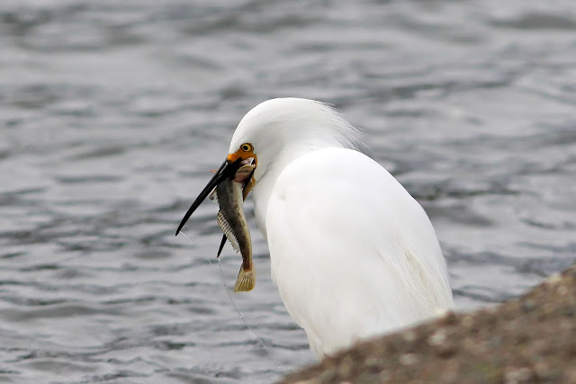 Snowy Egret Feeding