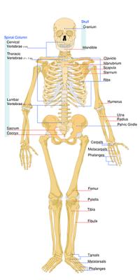scheletul uman