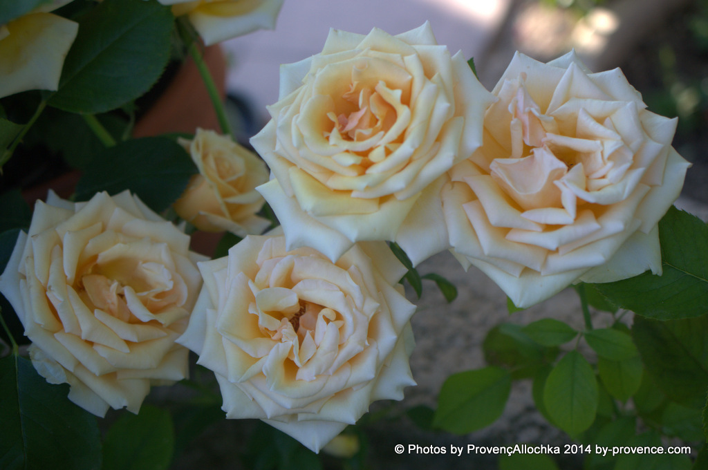 rosier Valencia dan mon jardin