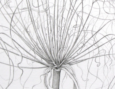 Graphite drawing of Cyperus prolifer Lam by Shevaun Doherty