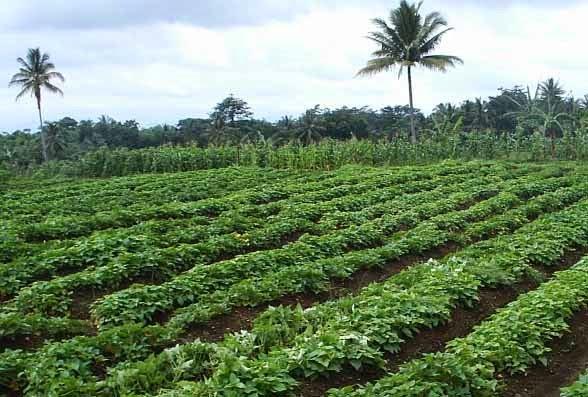 http://tipspetani.blogspot.com/2014/12/cara-perawatan-tanaman-ubi-jalar.html