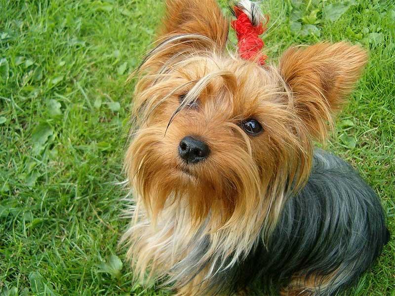 Ropa para perros yorkshire