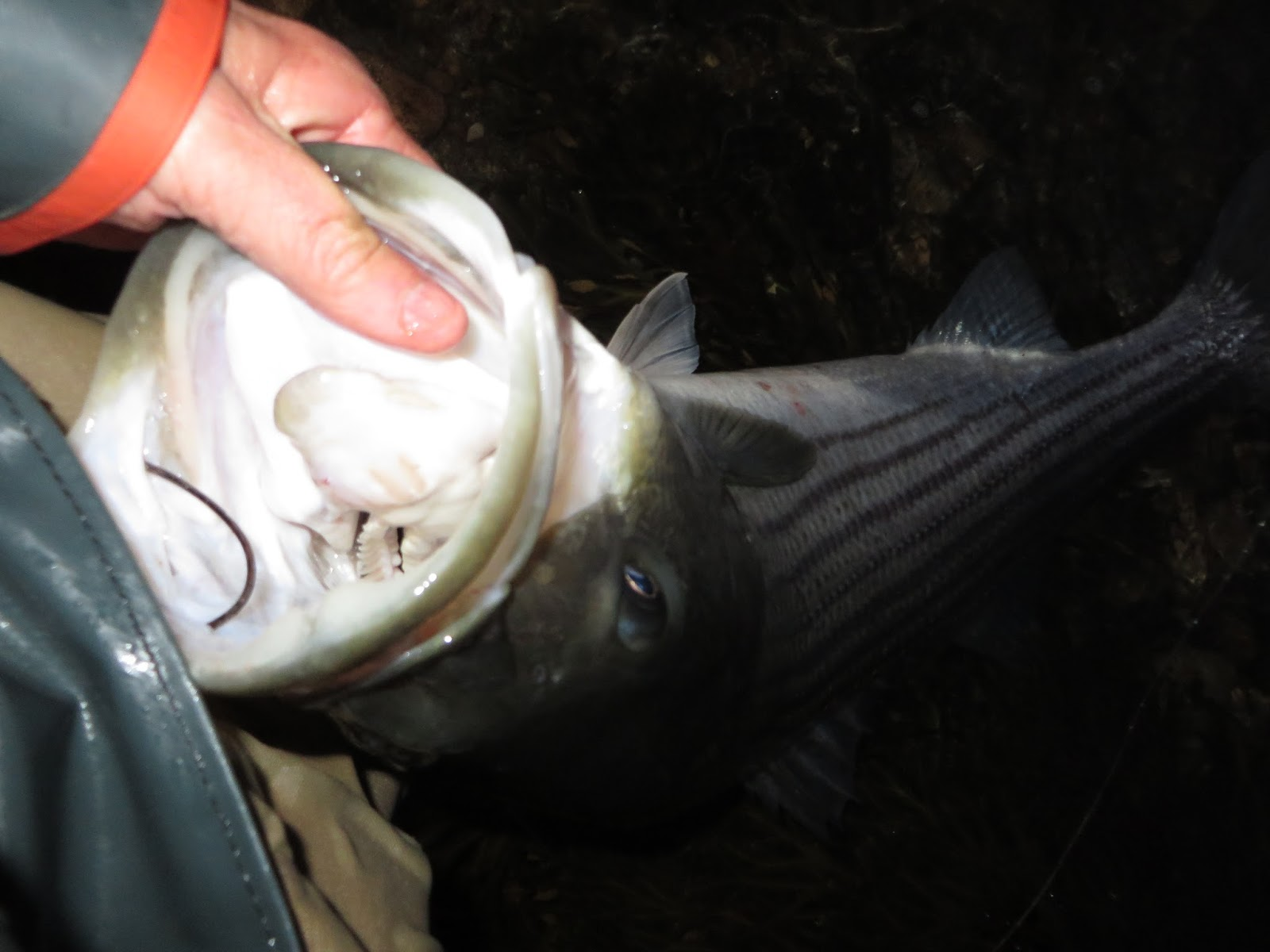 Rhode island striped bass november 2015 i fished a lot in november and was able to land only one decent fish of 40 inches geenschuldenfo Image collections